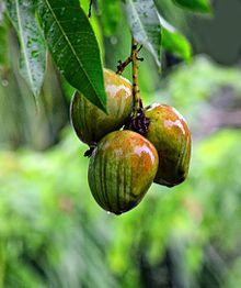 Amazing Mango Pictures & Backgrounds