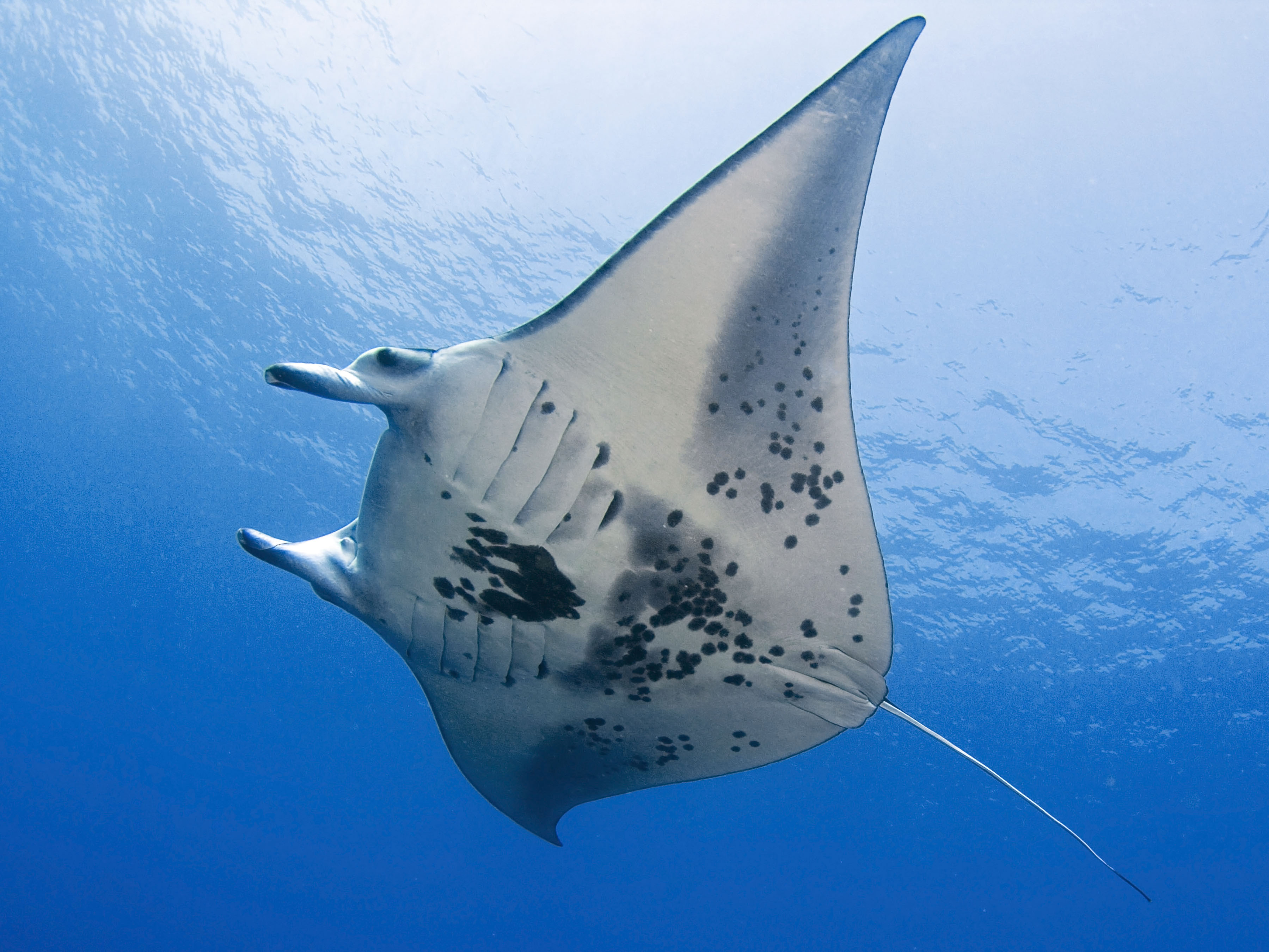 Amazing Manta Ray Pictures & Backgrounds