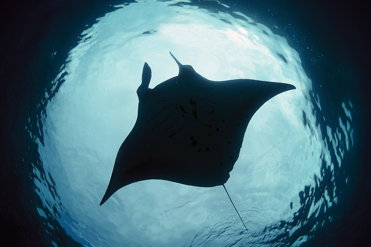 Nice Images Collection: Manta Ray Desktop Wallpapers