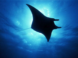 Manta Ray Backgrounds, Compatible - PC, Mobile, Gadgets| 320x240 px