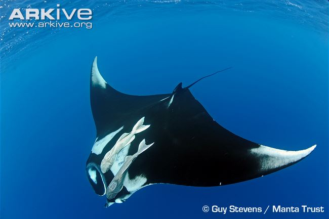 Manta Ray Backgrounds, Compatible - PC, Mobile, Gadgets| 650x433 px