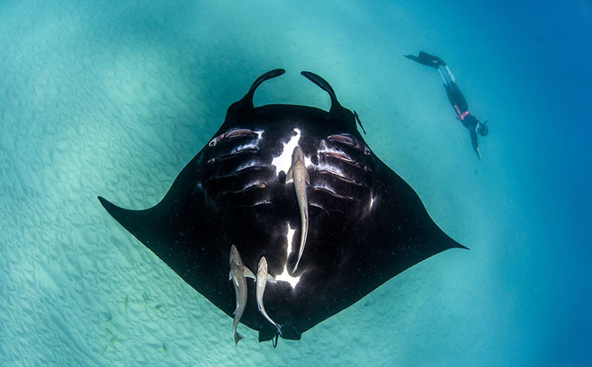 HD Quality Wallpaper | Collection: Animal, 1206x747 Manta Ray