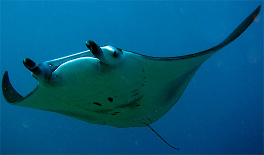 Manta Ray High Quality Background on Wallpapers Vista