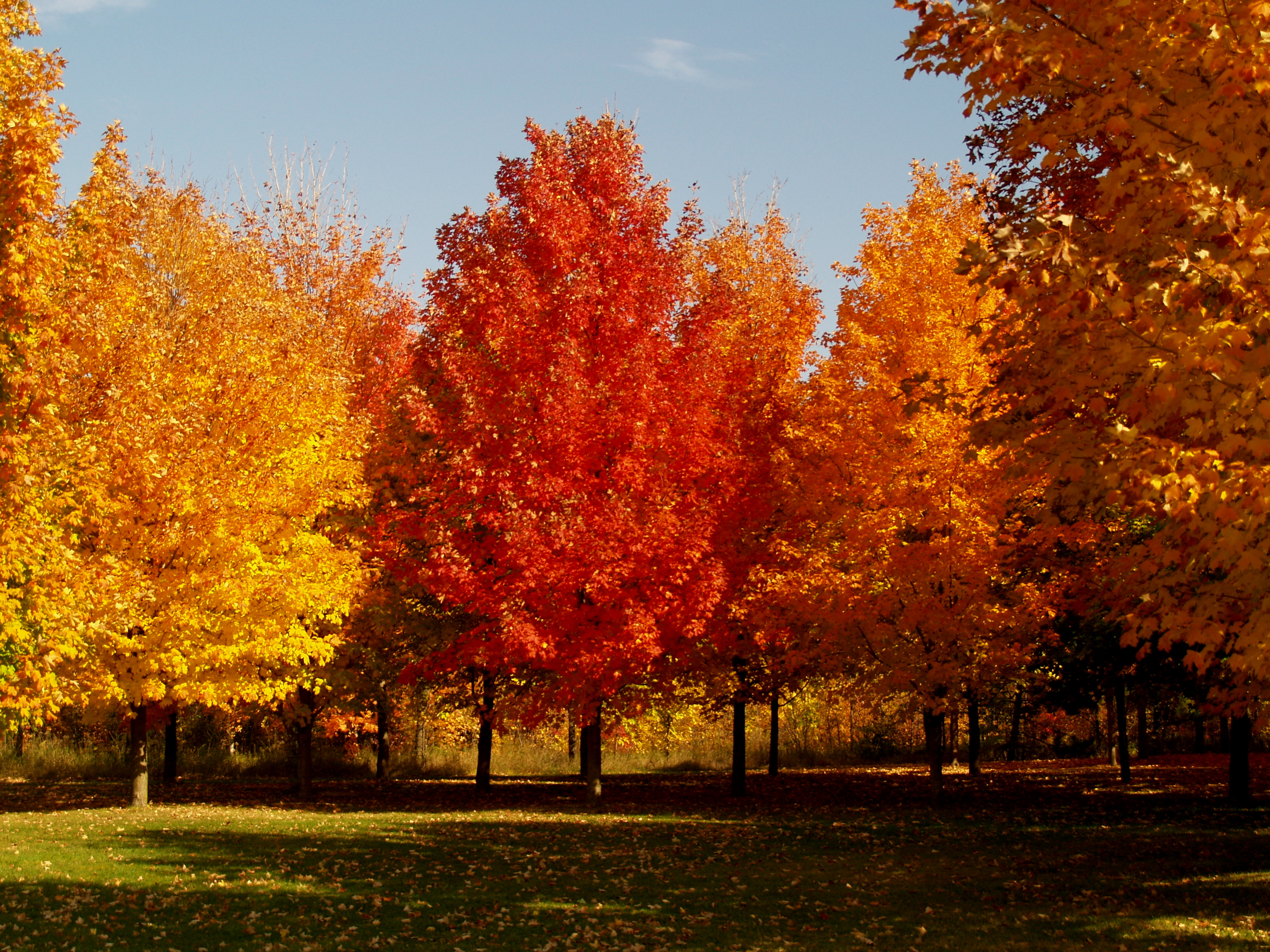 HQ Maple Tree Wallpapers | File 3992.14Kb