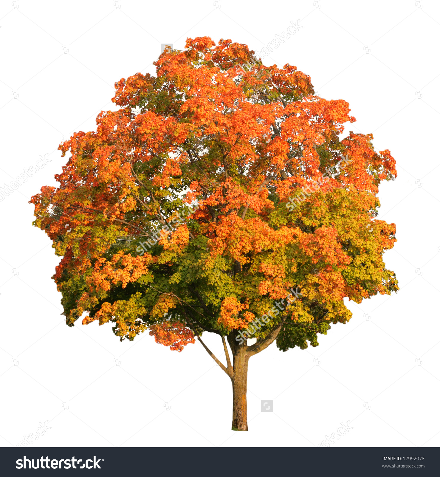 Nice wallpapers Maple Tree 1476x1600px