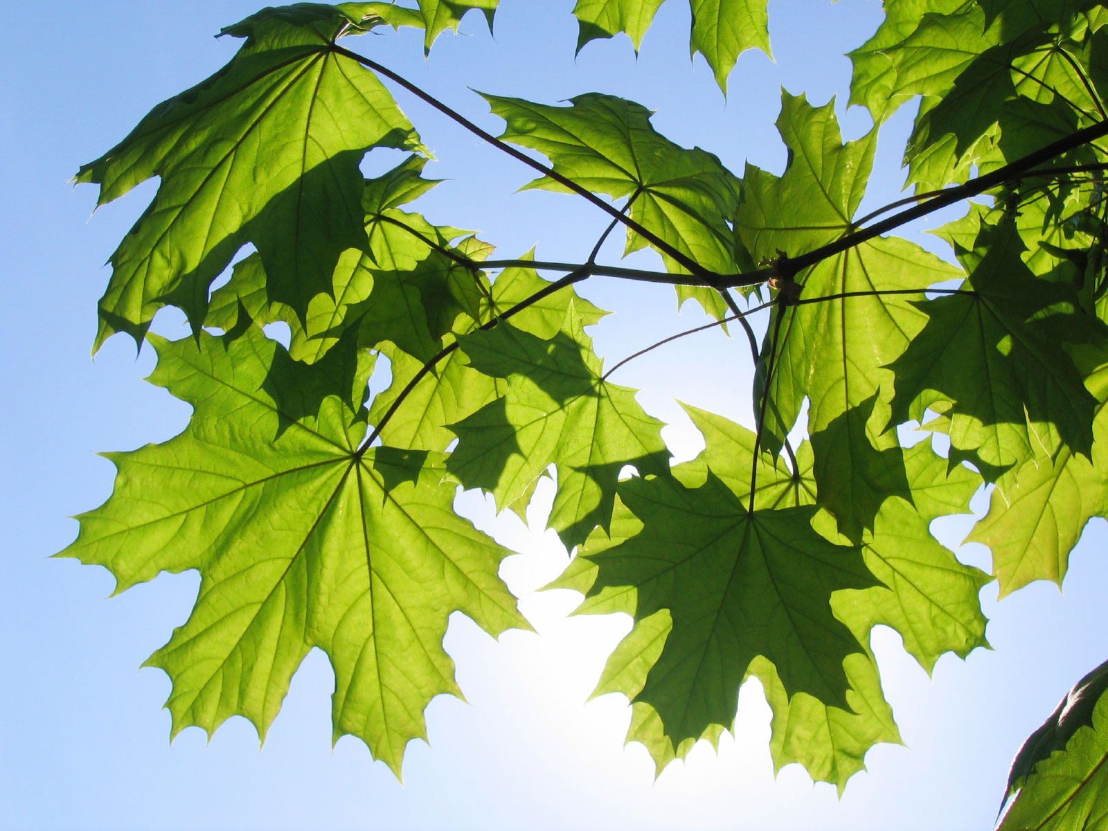 Amazing Maple Tree Pictures & Backgrounds