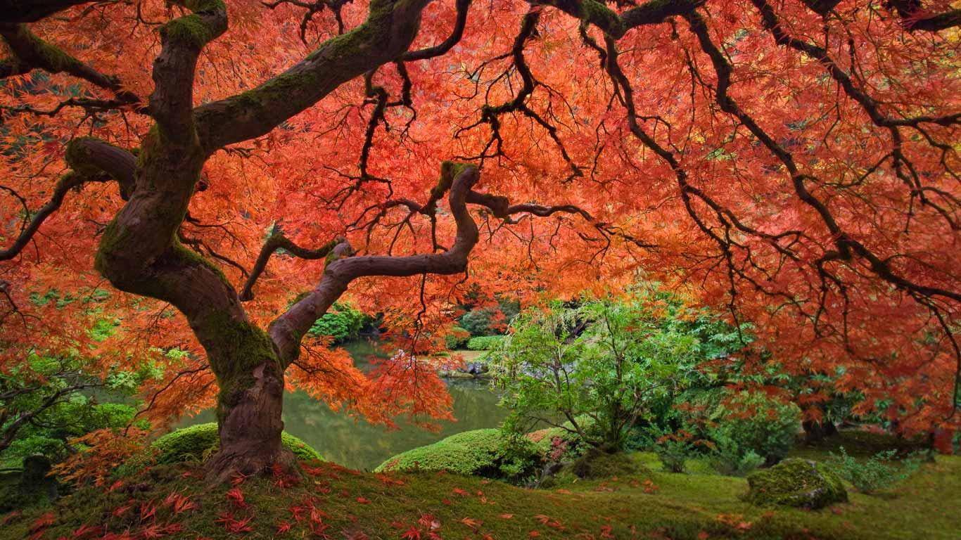 1366x768 > Maple Tree Wallpapers