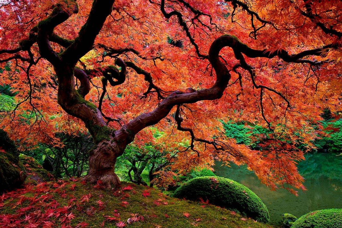 High Resolution Wallpaper | Maple Tree 1200x799 px