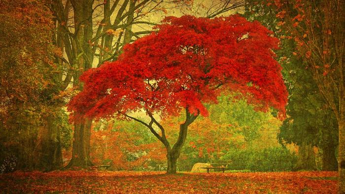 Maple Tree High Quality Background on Wallpapers Vista