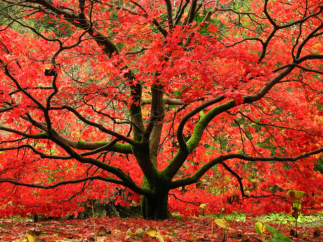 Images of Maple Tree | 640x480