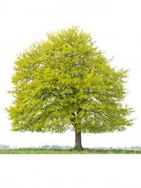 High Resolution Wallpaper | Maple Tree 200x266 px