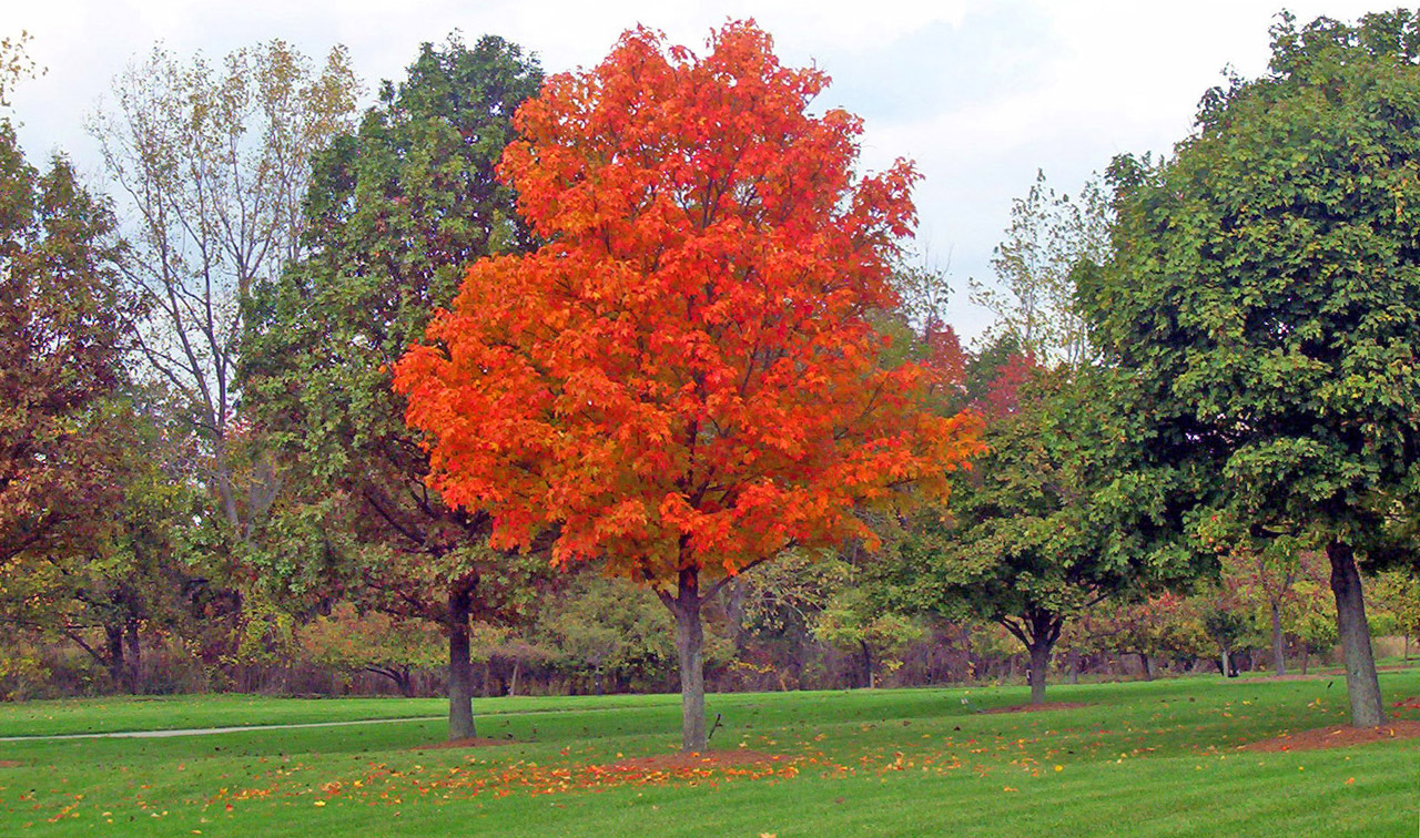 Nice wallpapers Maple Tree 1280x756px
