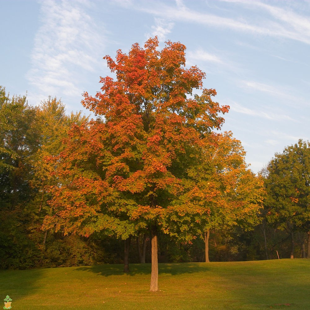 HQ Maple Tree Wallpapers | File 315.21Kb