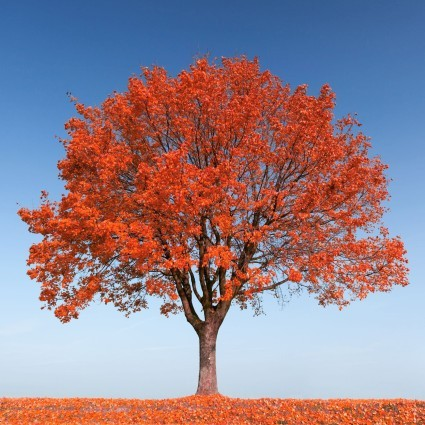 Nice wallpapers Maple Tree 425x425px
