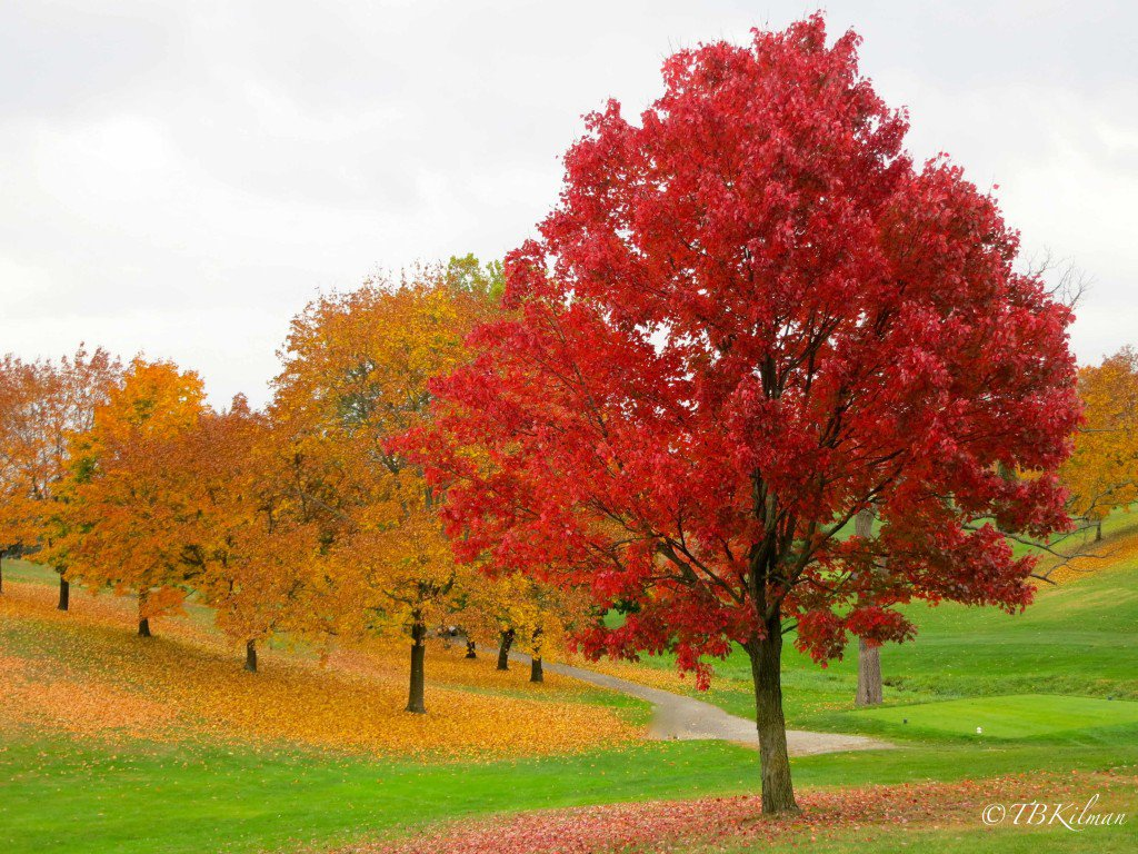 Nice Images Collection: Maple Tree Desktop Wallpapers