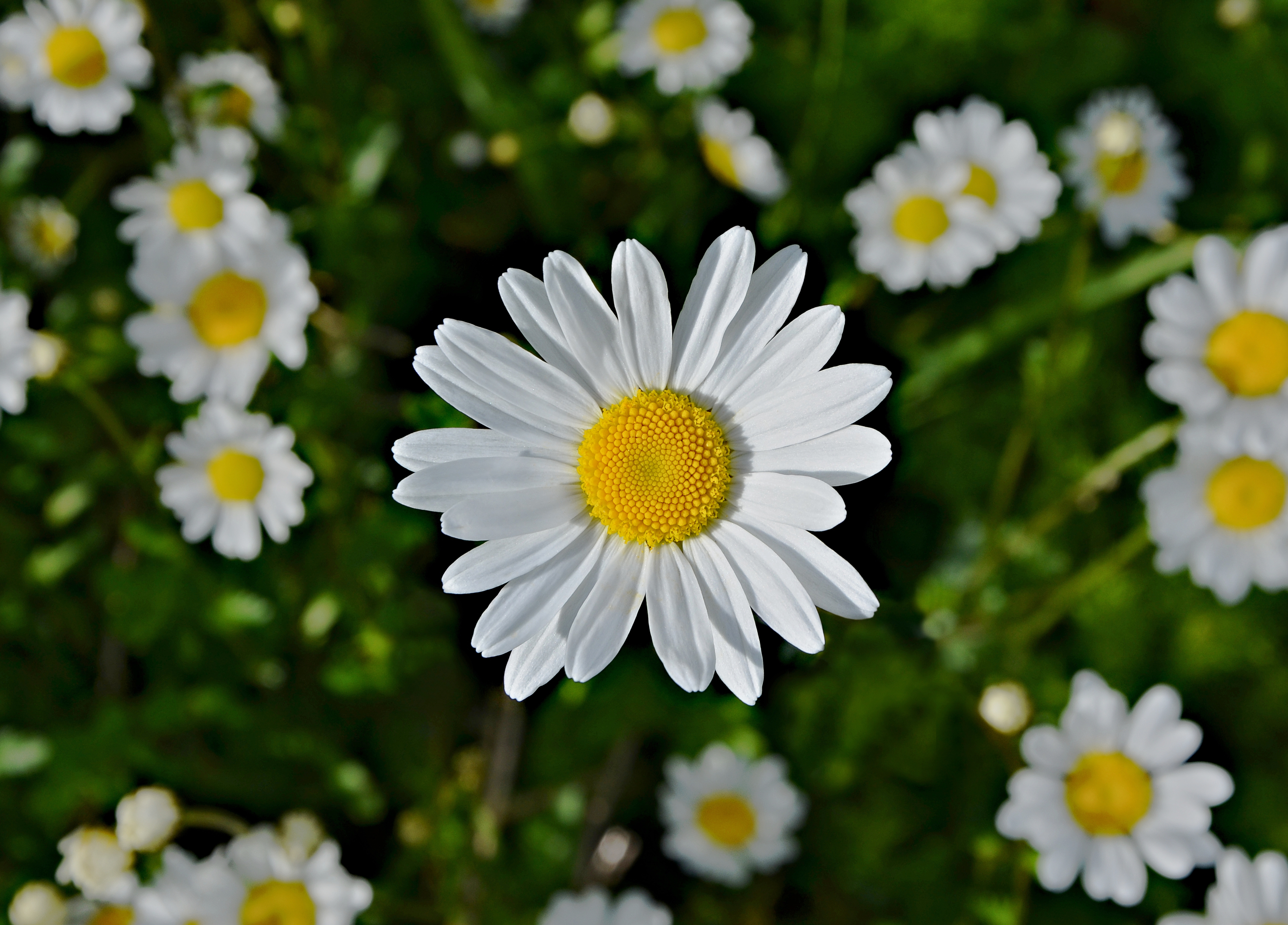Marguerite High Quality Background on Wallpapers Vista