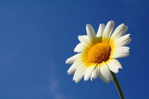 Marguerite Backgrounds on Wallpapers Vista