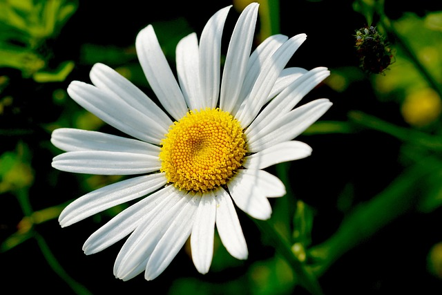 Amazing Marguerite Pictures & Backgrounds