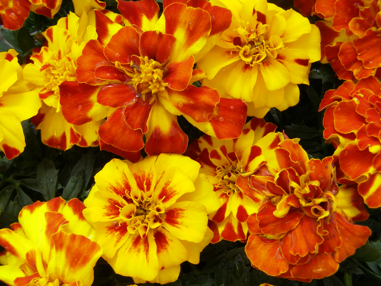 Nice Images Collection: Marigold Desktop Wallpapers
