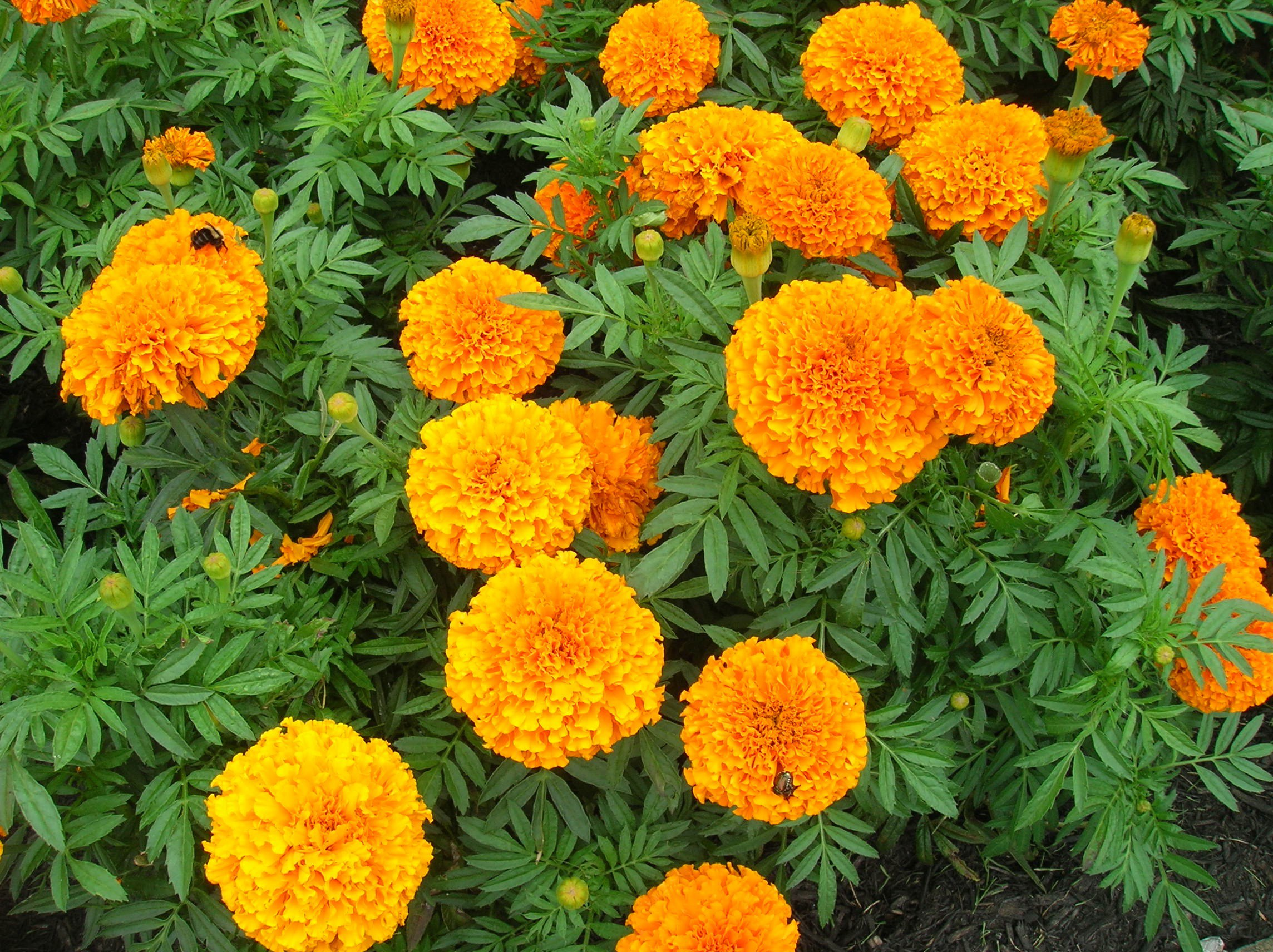 Marigold High Quality Background on Wallpapers Vista