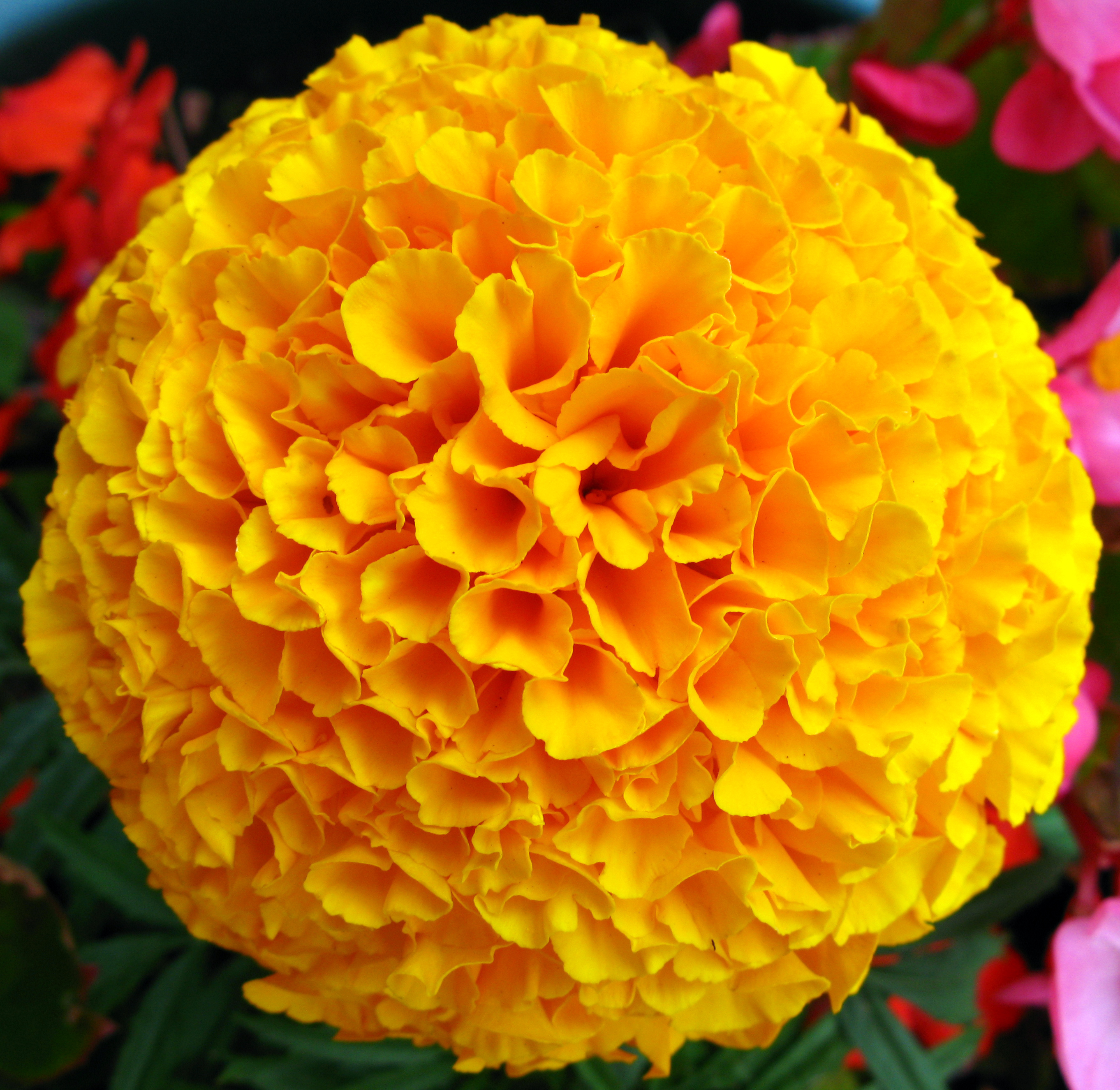 Nice wallpapers Marigold 2724x2652px