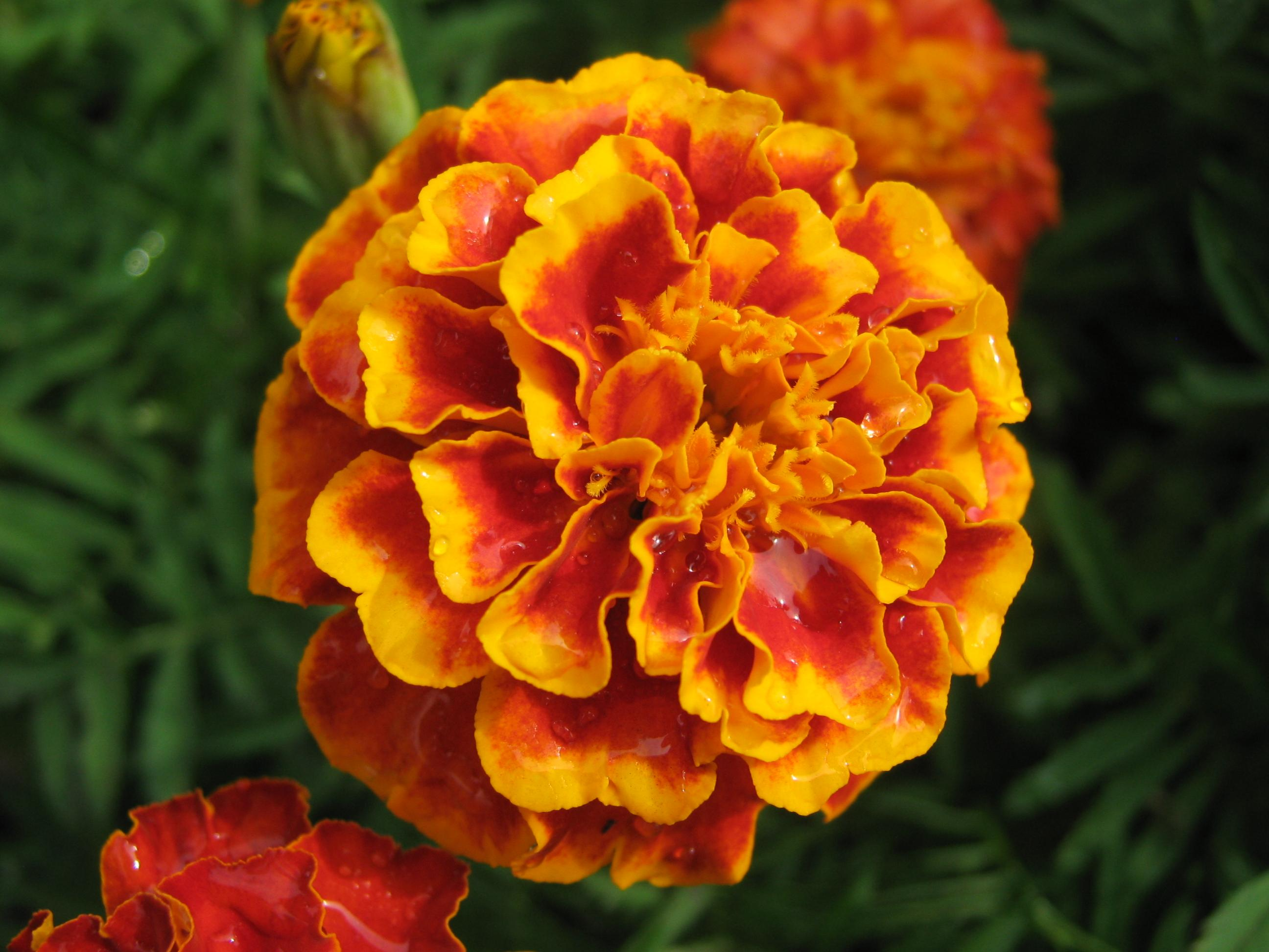 2592x1944 > Marigold Wallpapers
