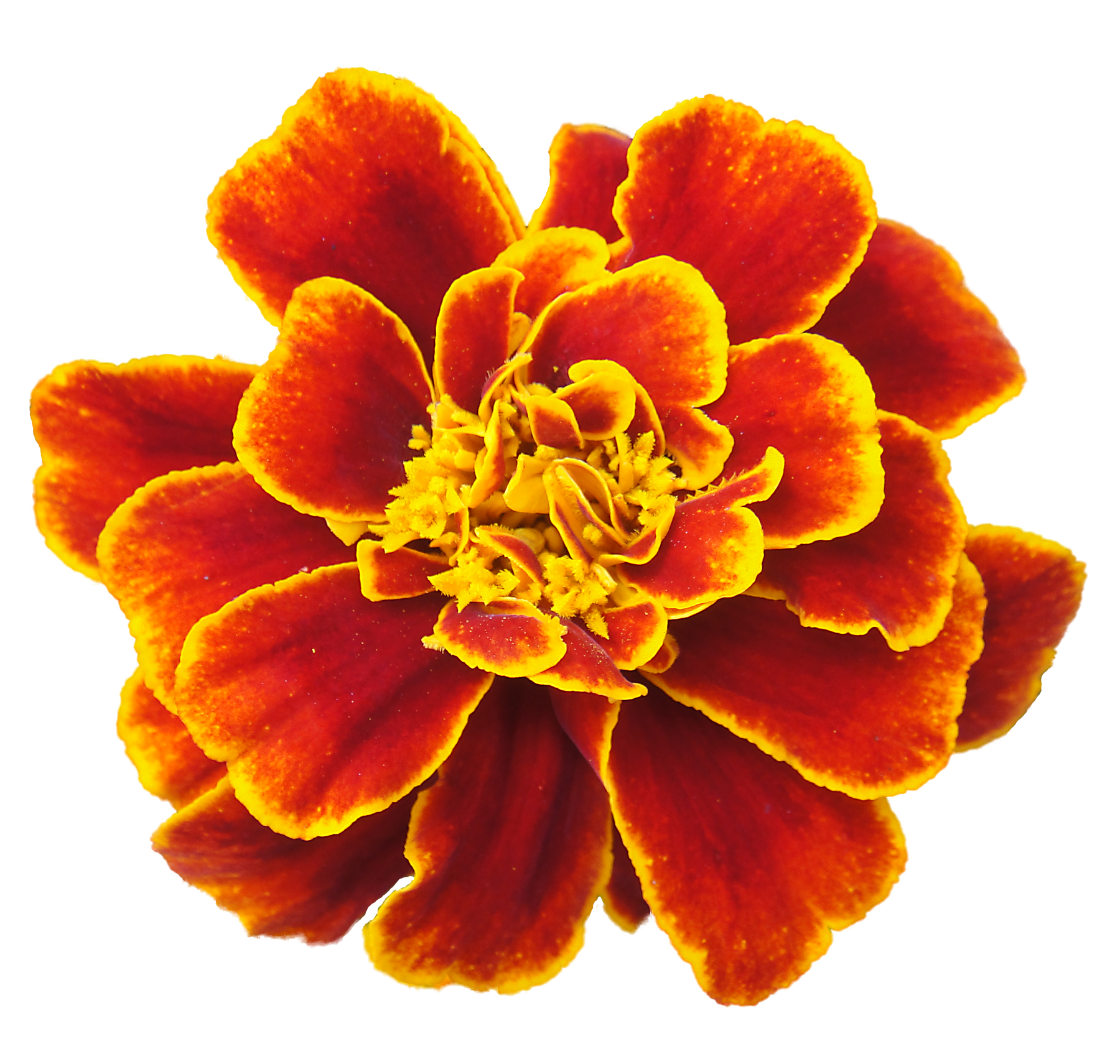 Marigold Backgrounds on Wallpapers Vista