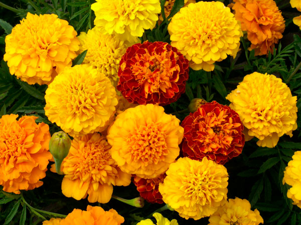 Marigold Pics, Earth Collection