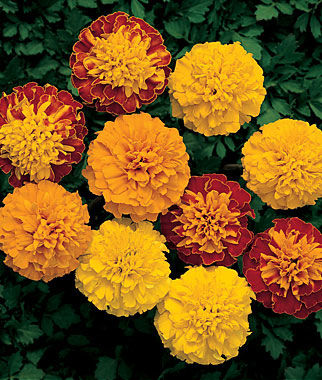 Amazing Marigold Pictures & Backgrounds