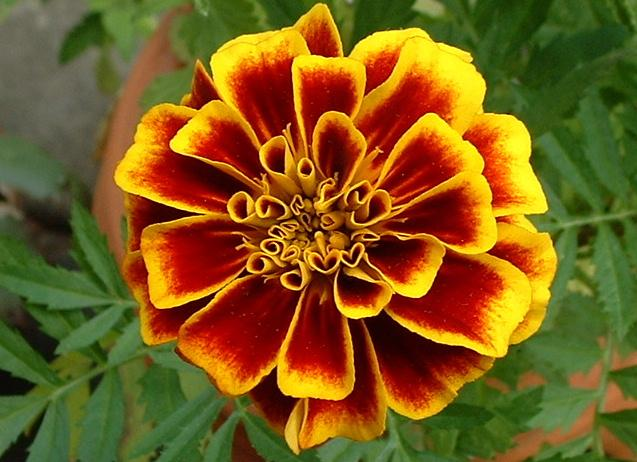 Nice wallpapers Marigold 637x462px