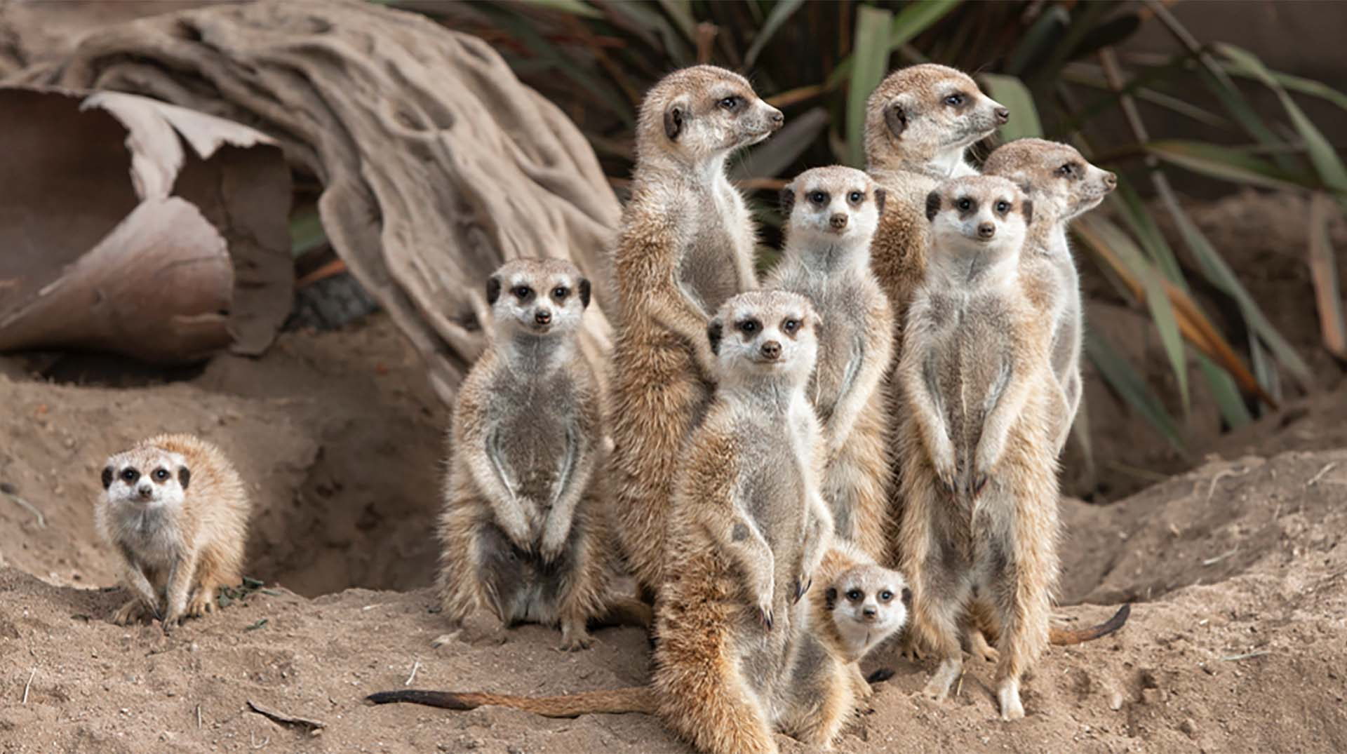 HD Quality Wallpaper | Collection: Animal, 1920x1075 Meerkat