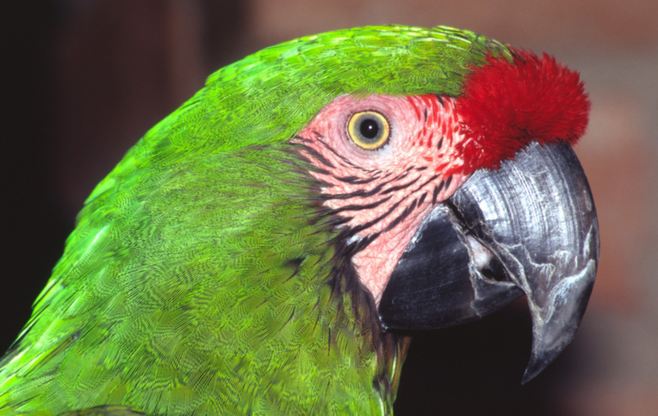 Images of Military Macaw | 1280x809