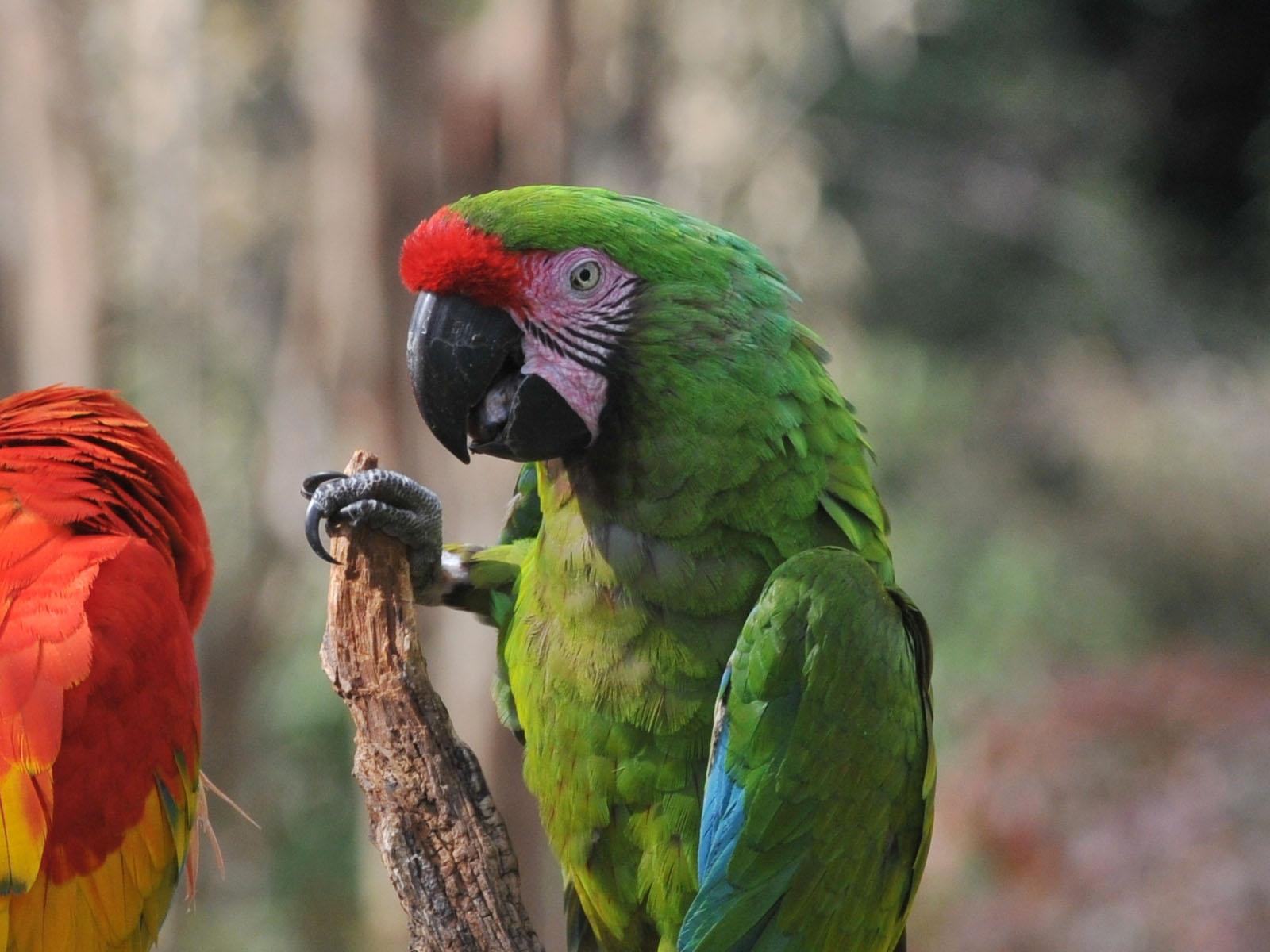 Military Macaw Pics, Animal Collection