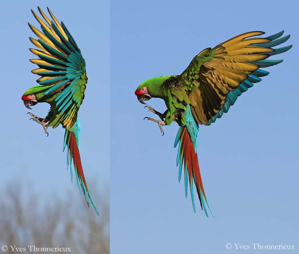 HD Quality Wallpaper | Collection: Animal, 1048x890 Military Macaw