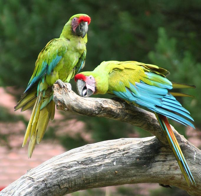 Nice Images Collection: Military Macaw Desktop Wallpapers