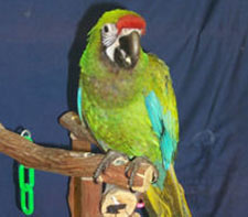 Nice wallpapers Military Macaw 225x197px