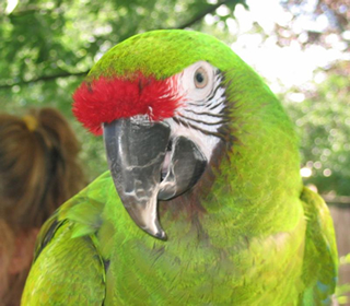 HD Quality Wallpaper | Collection: Animal, 320x280 Military Macaw