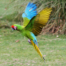 Amazing Military Macaw Pictures & Backgrounds
