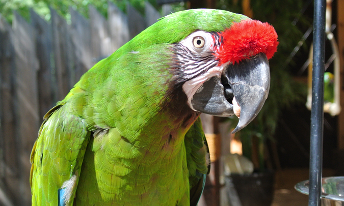 Images of Military Macaw | 675x405