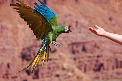 HD Quality Wallpaper | Collection: Animal, 500x333 Military Macaw