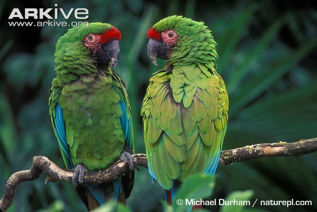 HQ Military Macaw Wallpapers | File 62.6Kb