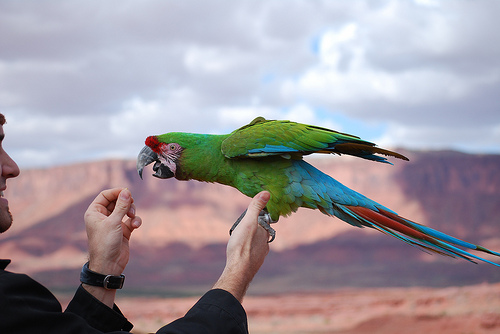 Images of Military Macaw | 500x334