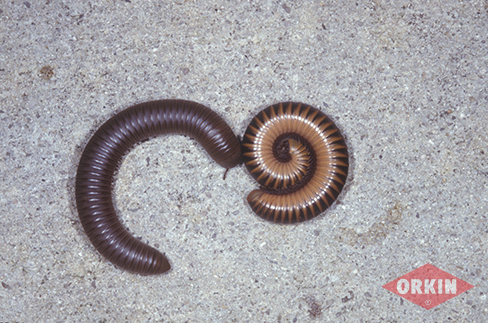 HD Quality Wallpaper | Collection: Animal, 488x323 Millipede