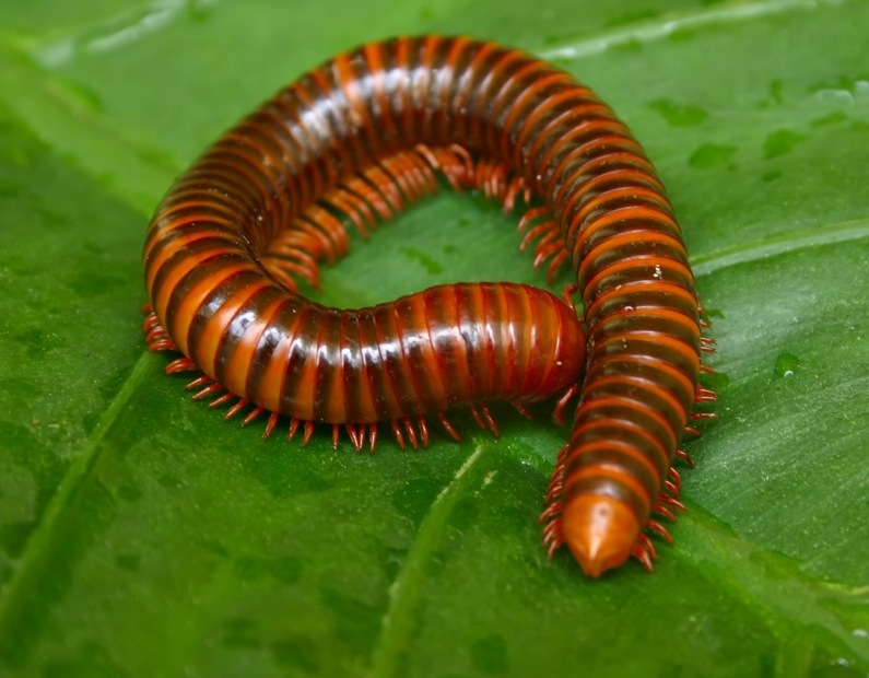 Nice Images Collection: Millipede Desktop Wallpapers