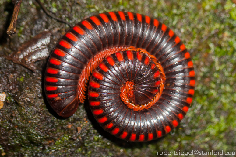 Millipede Pics, Animal Collection