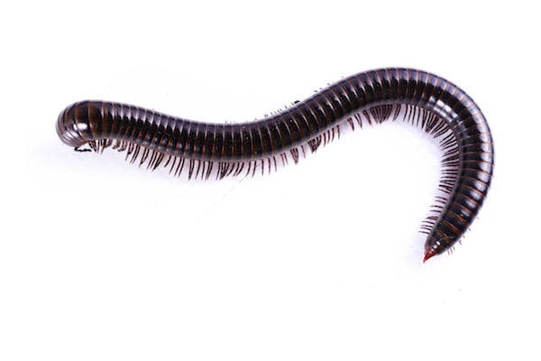 600x400 > Millipede Wallpapers