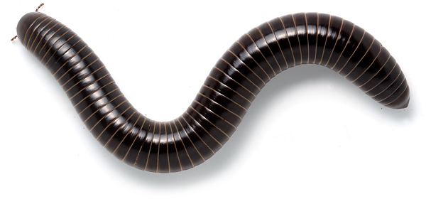 Amazing Millipede Pictures & Backgrounds