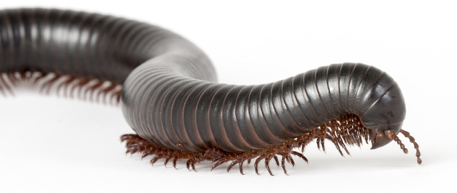 Images of Millipede | 640x271