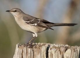 Images of Mockingbird | 275x200