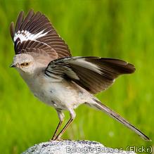 Amazing Mockingbird Pictures & Backgrounds